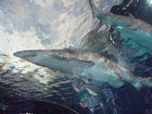 shark in an aquarium tank